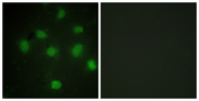 Immunofluorescence analysis of COS7 cells, using TLK1 Antibody. The picture on the right is blocked with the synthesized peptide.