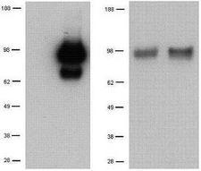 TLR1 Antibody - Left Panel: Untransfected control (left) and mouse TLR1-transfected (right) Baf/3 cell lysates were loaded at 1x105 cells/lane, probed with 3 ug/mL purified antibody and revealed with HRP anti-rat IgG. Right Panel: Peritoneal-exudate (left) and RAW264.7 (right) cell lysates were loaded at 1x105 cells/lane, probed with 3 ug/ml purified antibody and revealed with HRP anti-rat IgG.