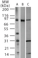 Western blot of TLR2 in (A) 15 ugs of Raw cell lysate (B) mouse TLR2 transfected cell lysate and (C) Ramos cell lysate using antibody at 1 ug/ml.