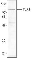 TLR3 Antibody - Cell extract from transfected 293 cells stably expressing human TLR3 was resolved by electrophoresis, transferred to nitrocellulose, and probed with anti-TLR3 (clone TLR-104) antibody. Proteins were visualized using a goat anti-mouse secondary conjugated