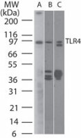 TLR4 Antibody - Western Blot: TLR4 Antibody (76B357.1) [Azide Free] - Analysis of TLR4 using TLR4 antibody at 2 ug/ml on (A) human intestine and 6 ug/ml on (B) mouse intestine and C) rat intestine lysate. This image was taken for the unmodified form of this product. Other forms have not been tested.