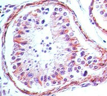 TLR4 Antibody - Immunohistochemistry-Paraffin: TLR4 Antibody (76B357.1) [Azide Free] - Formalin-fixed, paraffin-embedded human testis tissue stained with TLR4 antibody (5 ug/ml). This image was taken for the unmodified form of this product. Other forms have not been tested.