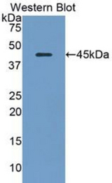 Western blot of recombinant TLR8.  This image was taken for the unconjugated form of this product. Other forms have not been tested.