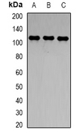 Western blot analysis of CD288 expression in THP1 (A); mouse liver (B); mouse brain (C) whole cell lysates.
