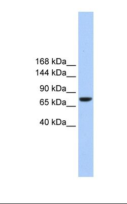 Hela cell lysate. Antibody concentration: 1.0 ug/ml. Gel concentration: 6%-18%.  This image was taken for the unconjugated form of this product. Other forms have not been tested.