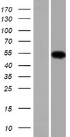 TMCO6 Protein - Western validation with an anti-DDK antibody * L: Control HEK293 lysate R: Over-expression lysate