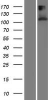 TMEM132A / HSPA5BP1 Protein - Western validation with an anti-DDK antibody * L: Control HEK293 lysate R: Over-expression lysate