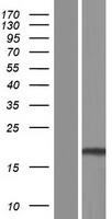 TMEM140 Protein - Western validation with an anti-DDK antibody * L: Control HEK293 lysate R: Over-expression lysate