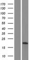 TMEM160 Protein - Western validation with an anti-DDK antibody * L: Control HEK293 lysate R: Over-expression lysate