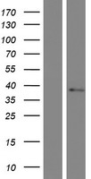 TMEM19 Protein - Western validation with an anti-DDK antibody * L: Control HEK293 lysate R: Over-expression lysate
