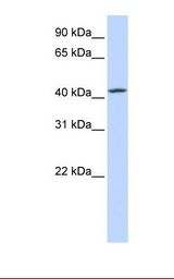 TMEM248 / c7orf42 Antibody - Hela cell lysate. Antibody concentration: 1.0 ug/ml. Gel concentration: 12%.  This image was taken for the unconjugated form of this product. Other forms have not been tested.