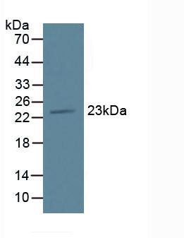 Western Blot; Sample: Mouse Pancreas Tissue.