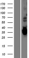 TMEM74B / C20orf46 Protein - Western validation with an anti-DDK antibody * L: Control HEK293 lysate R: Over-expression lysate