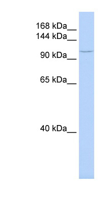 TMF1 antibody Western blot of MCF7 cell lysate. This image was taken for the unconjugated form of this product. Other forms have not been tested.