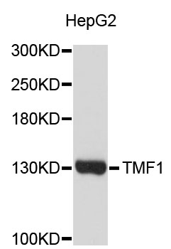 Western blot analysis of extracts of HepG2 cells.