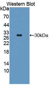 Western blot of TMPRSS2 / Epitheliasin antibody.