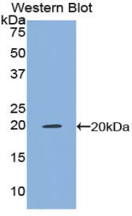 TNF Alpha Antibody - Western blot of recombinant TNF Alpha.  This image was taken for the unconjugated form of this product. Other forms have not been tested.