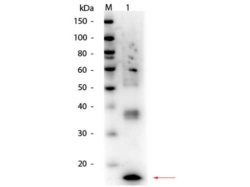 TNF Alpha Antibody - Western Blot of Mouse TNFa Antibody. Lane 1: Mouse TNFa. Load: 50 ng per lane. Primary antibody: Mouse TNFa antibody at 1:1,000 overnight at 4°C. Secondary antibody: HRP rabbit secondary antibody at 1:40,000 for 30 min at RT. Block: MB-070 for 30 min at RT. Predicted/Observed size: 17 kDa, 17 kDa for Mouse TNFa.