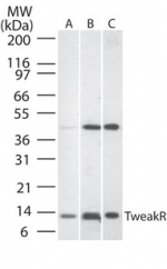 Western blot of TweakR in A) human liver lysate, B) mouse liver tissue lysate, and C) rat liver lysate using antibody at 1:500.