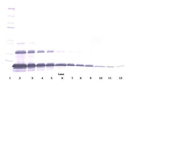 Western Blot (non-reducing) of TNFRSF1A / TNFR1 antibody LS-C104400