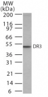 TNFRSF25 / DR3 Antibody - Western blot of DR3 in HeLa cell lysate using antibody at 0.5 ug/ml.