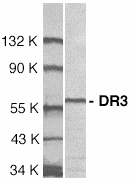 Western blot analysis of DR3 in Jurkat cell lysate with DR3 antibody at 1 g/ml.