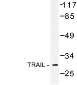 TNFSF10 / TRAIL Antibody - Western blot of TRAIL (S63) pAb in extracts from HUVEC cells.