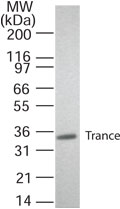 Western blot of TRANCE/RANKL in transfected cells. A single protein band of approximate mol. wt. of 35 kD was detected. This image was taken for the unmodified form of this product. Other forms have not been tested.