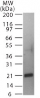 Western blot of Trance in a partial His-tagged recombinant protein using antibody at0.5 ug/ml.
