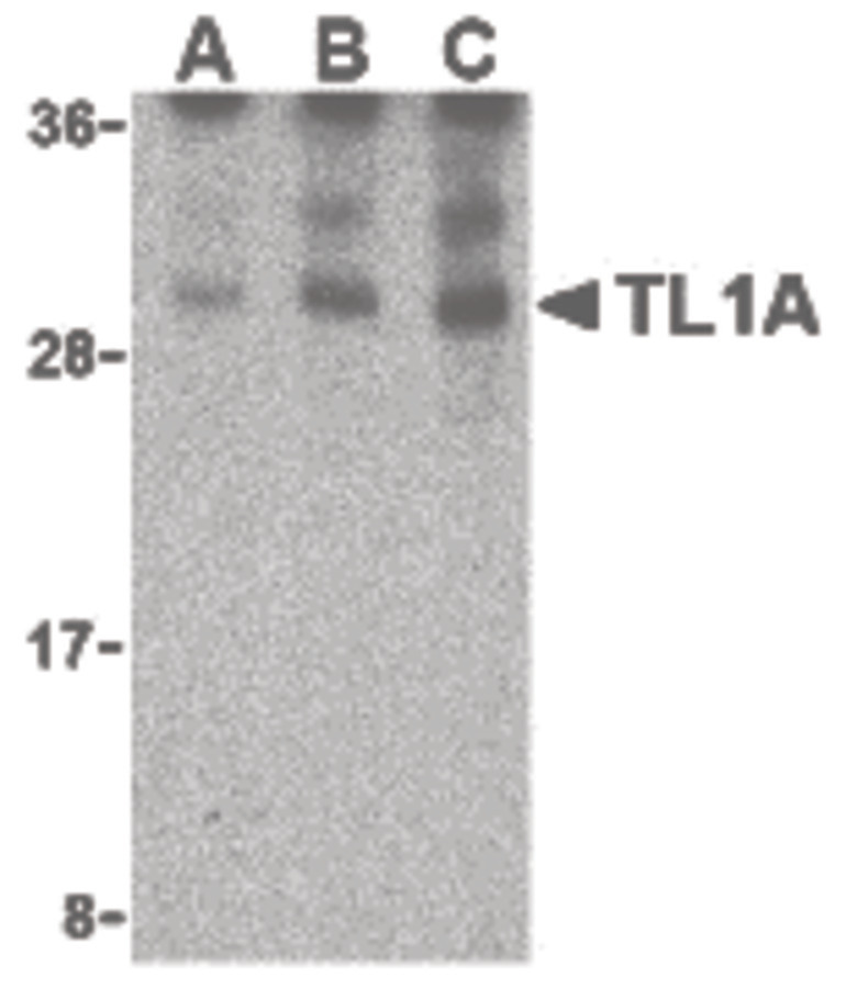 Western blot of TL1A in mouse lung cell lysates with TL1A antibody at (A) 0.5, (B) 1, and (C) 2 ug/ml.