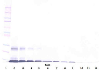 Anti-Human AITRL Western Blot Unreduced
