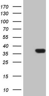 HEK293T cells were transfected with the pCMV6-ENTRY control (Left lane) or pCMV6-ENTRY PSMG2 (Right lane) cDNA for 48 hrs and lysed. Equivalent amounts of cell lysates (5 ug per lane) were separated by SDS-PAGE and immunoblotted with anti-PSMG2 (1:2000).