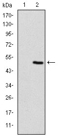 Western blot using TNNI2 monoclonal antibody against HEK293 (1) and TNNI2(AA: 1-182)-hIgGFc transfected HEK293 (2) cell lysate.