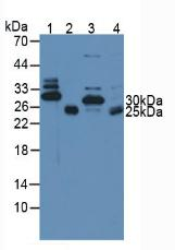 Western Blot; Sample. Lane1: Mouse Heart Tissue; Lane2: Mouse Skeletal Muscle Tissue; Lane3: Porcine Heart Tissue; Lane4: Porcine Skeletal Muscle Tissue.