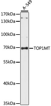 TOP1MT Antibody - Western blot analysis of extracts of A-549 cells, using TOP1MT antibody at 1:1000 dilution. The secondary antibody used was an HRP Goat Anti-Rabbit IgG (H+L) at 1:10000 dilution. Lysates were loaded 25ug per lane and 3% nonfat dry milk in TBST was used for blocking. An ECL Kit was used for detection and the exposure time was 60S.