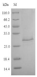 TES26/26 kDa Secreted Antigen Protein - (Tris-Glycine gel) Discontinuous SDS-PAGE (reduced) with 5% enrichment gel and 15% separation gel.