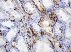 IHC of paraffin-embedded Human Kidney tissue using anti-TYMP mouse monoclonal antibody.
