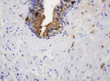 IHC of paraffin-embedded Human prostate tissue using anti-TYMP mouse monoclonal antibody.