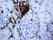 TP / Thymidine Phosphorylase Antibody - IHC of paraffin-embedded Human Kidney tissue using anti-TYMP mouse monoclonal antibody.