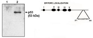 Western blot of p53 clone HR231 antibody at 1 ug/ml on native H1299 cells (1) and H1299 cells transfected with human p53. Also shown is a graphic representation of the epitope location.