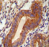 TPGS2 / C18orf10 Antibody - TPGS2 antibody immunohistochemistry of formalin-fixed and paraffin-embedded human uterus tissue followed by peroxidase-conjugated secondary antibody and DAB staining.