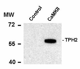 Western blot of recombinant tryptophan hydroxylase incubated in the absence (Control) and presence of Ca2+/calmodulin dependent kinase II (CaMKII) showing specific immunolabeling of the ~55k tryptophan hydroxylase protein phosphorylated at Ser19.