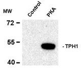 TPH1 / Tryptophan Hydroxylase Antibody - Western blot of recombinant tryptophan hydroxylase incubated in the absence (Control) and presence of cAMP-dependent protein kinase (PKA) showing specific immunolabeling of the ~53k tryptophan hydroxylase protein phosphorylated at Ser58.