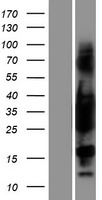 TPM3 Protein - Western validation with an anti-DDK antibody * L: Control HEK293 lysate R: Over-expression lysate