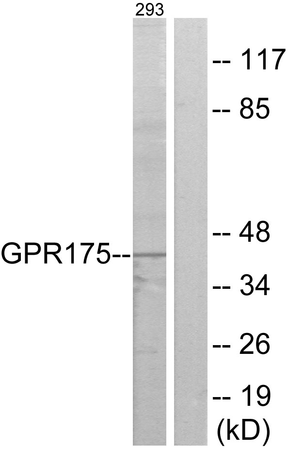 TPRA1 / GPR175 Antibody - Western blot analysis of lysates from 293 cells, using GPR175 Antibody. The lane on the right is blocked with the synthesized peptide.