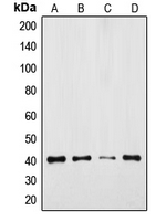 TPRA1 / GPR175 Antibody - Western blot analysis of GPR175 expression in DLD (A); Jurkat (B); mouse colon (C); rat colon (D) whole cell lysates.