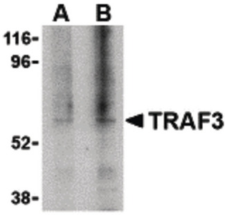 Western blot of TRAF3 in 3T3 cell lysate with TRAF3 antibody at (A) 1, and (B) 2 ug/ml.