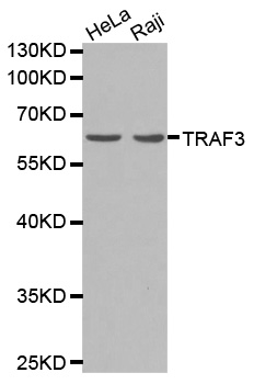 Western blot analysis of extracts of Raji cells lines, using TRAF3 antibody.