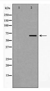 Western blot of TRAF3 expression in NIH-3T3 cells