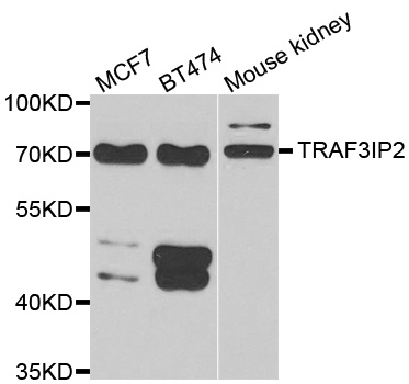 TRAF3IP2 / ACT1 Antibody - Western blot analysis of extracts of various cell lines.